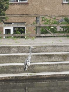 Heron on Union Canal Edinburgh.Can you see him?