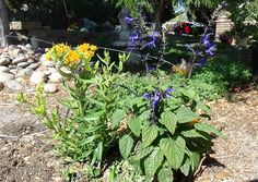 Milkweed and Salvia combo container planted in the ground
