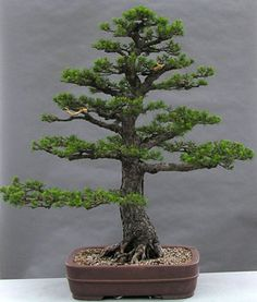 Pinus sylvestris/ Scot's Pine ~ Approximately 80 years old - In training as a bonsai since 1956