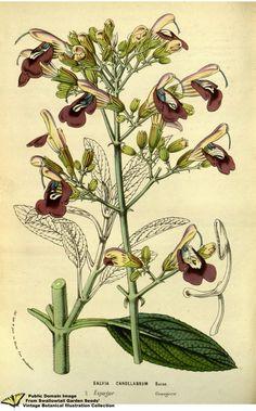 Salvia candelabrum. Flore des serres et des jardins de l'Europe v.13 (1858)