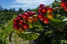 Arabica Versus Robusta: Which Coffee Is Better For Birds? | @GrrlScientistIt once was relatively easy to decide which coffee variety was least harmful to birds, but a new study of rainforest birds in India's Western Ghats region reveals things are not as simple as they once were Ispent my university years in Seattle, a coffee-worshiping city. But as an ornithologist, I...