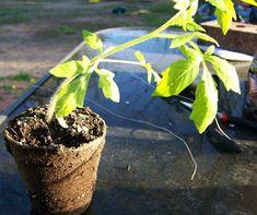 Growing Tomatoes Upside Down tomates invertidos- trasplantar