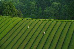 Bucket List No. 2: Traversing Through The Tea Fields of Wazuka — KNSTRCT - Carefully Curated Design News