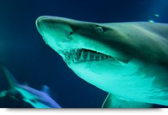 Sharks at Rifes da Parda / Baia da Parda, Cape Verde islands and Sal. Info and facts about sharks at Cape Verde islands