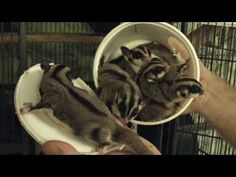 How many sugar gliders can fit inside of a Cool Whip container? (Answer: A lot!)