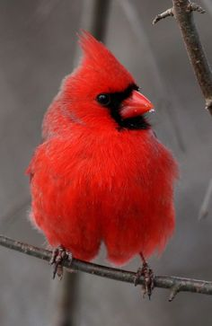 Beautiful looks like the one in my backyard I love Cardinals Pretty Birds, Beautiful Birds, Animals Beautiful, Beautiful Verses, Beautiful Things, Red Bird Tattoos, Tattoo Bird, Cardinal Birds, Backyard Birds