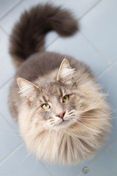Kokos (via Cool Pet Photo) Norwegian forest cat