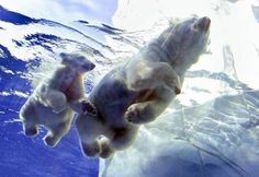 Nothing like baby polar bears for adorableness.