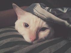 Danno Cat | Pawshake