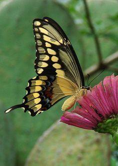 Butterfly おしゃれまとめの人気アイデア Pinterest Mijika 蛾