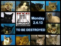 SUPER BOWL SUNDAY but the ACC doesn't rest! *12* NYC cats r in danger!  The shelter closes@ 8PM. Go 2 the ACC website http://www.nycacc.org/PublicAtRisk.htm 2 adopt a PUBLIC LIST cat (noted on their profile)but ONLY if you're able 2 GO 2 the shelter IN person w/in 48hrs. Or work w/a rescue group if U can adopt/foster ANY cat 2nite. Instrns & list of rescues: https://www.facebook.com/PetsOnDeathRow/app_396393053713168  PLEASE read: https://www.facebook.com/PetsOnDeathRow/app_396393053713168