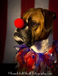 circus dog clown Boxer Halloween costume www.SomeLikeItShotPhotography.com Seattle - Tacoma