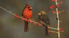 Animal Cardinal  Texas Wallpaper