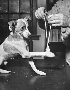 Pets during World War II