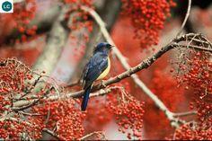https://www.facebook.com/WonderBirds-171150349611448/ Đớp ruồi Niltava họng hung; Họ Đớp ruồi cựu thế giới-Muscicapidae (Old World Flycatcher); Nam Á, Trung Quốc và Đông Nam Á    Vivid niltava (Niltava vivida); IUCN Red List of Threatened Species 3.1 : Least Concern (LC)(Loài ít quan tâm)
