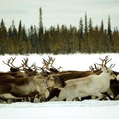 Photo by @hellokrisdavidson. The reindeer travels the furthest of any terrestrial mammal with the most extensive migrations occurring in the spring and in the fall. Pictured here:  A reindeer spring-winter migration is underway in Laponia Sweden (a designated UNESCO World Heritage site). The herd is leaving the winter grounds to go to the calving grounds in the mountains. Traveling with them but not pictured are the Saami herders. The Saami people who have inhabited the northern regions of…