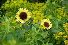 the beautiful sunflower 'Valentine' growing in the cutting garden amongst euphorbia