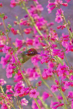 "Male Anna's Hummingbird-   ""Peeking Through the Pink Penstemons"" by Diana Graves"