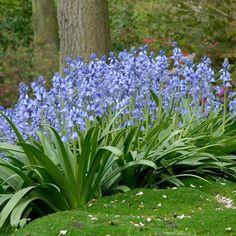 Hyacinth Bulbs - Blue Wood Hyacinth - Bag of Eden Brothers Spanish Bluebells, Bulb Flowers, Blue Flowers, Plants, Spring Bulbs, Perennials, Blue Garden, Planting Bulbs, Bluebells