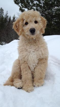 Golden doodle puppy!  Gotta love Clarence! Such a sweetie!