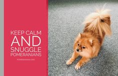 Marvelous Pomeranian Does Your Dog Measure Up and Does It Matter Characteristics. All About Pomeranian Does Your Dog Measure Up and Does It Matter Characteristics. Pomeranian Memes, Cute Pomeranian, I Love Dogs, Cute Dogs, Awesome Dogs, Black Lab Puppies, Corgi Puppies, Pom Dog, Save A Dog