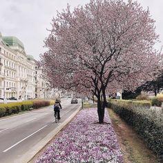 That's just gorgeous⠀ . Pink Trees, Vienna Austria, Sidewalk, Europe, Sky, Travel, Beautiful, Heaven, Heavens
