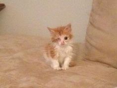 Ty is an adoptable Domestic Long Hair - Orange And White Cat in Palisades Park, NJ. Meet Ty! Ty is a sweet 4 week old kitten. Unfortunately, Ty lost one eye due to a very bad eye infection. This littl...