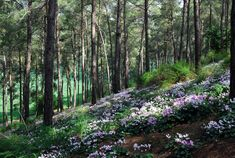 A cyclamen meadow in a forest in northern Israel