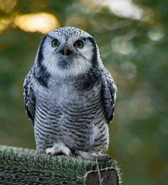 Rauhfußkauz   owl