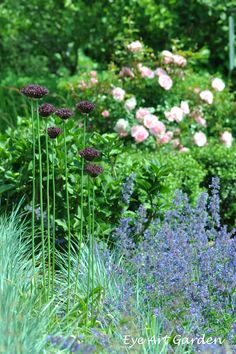 alliums, catmint, pink roses - great combo