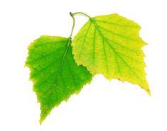 16 Of Nature's Best Natural Pain Killers Gardenias, Carrot Seeds, Lemon Essential Oils, Leaf Art, Autumn Leaves, Birch, Vines, Plant Leaves, Gardens