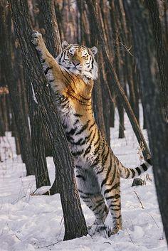 Stretching tiger
