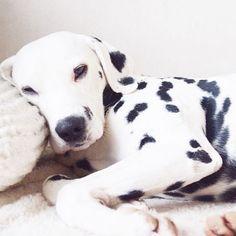 Sunday morning rain is falling☔️ #dalmatian #weeklyfluff #dalmatiannation #dog…