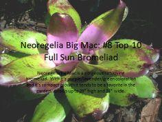 Neoregelia Big Mac - Florida Full Sun Bromeliad