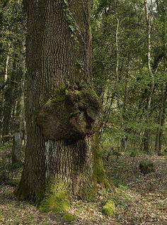 La rovere vicino alla tomba del Marchese: particolare del callo cicatriziale.