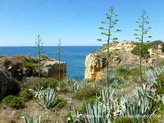 Agaves na costa do Algarve. Portugal