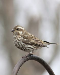 Female Purple Finch by Indiana Ivy Nature Photographer, via Flickr