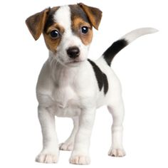 ... Rjack Russell Terrier Sliedzcp