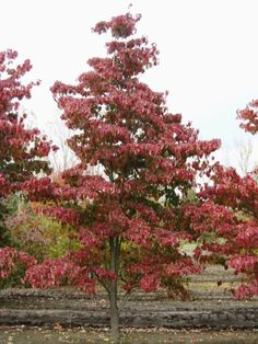 Cornus florida 'Red Sunset' #tree #autumn #colours www.vdberk.co.uk