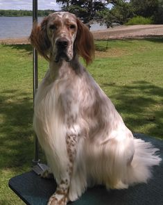 English Setters, Irish Setter, Springer Spaniel, Hunting Dogs, Spaniels, Best Dogs, Doggies, Dog Cat, Teal