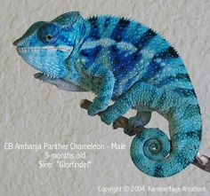 Panther Chameleon -- blue bar ambanja from the Kammers. I don't know if they still produce chams or not, but there's were lovely. Another great reason for a trip to Madagascar Chameleon Pet, Chameleon Tattoo, Animals And Pets, Baby Animals, Funny Animals, Cute Animals, Reptiles Et Amphibiens, Cute Reptiles, Beautiful Creatures