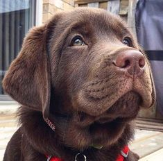 """Obtain excellent tips on """"Labrador retriever puppies"""". They are actually on call for you on our web site. Labrador Retriever Chocolate, Chocolate Lab Puppies, Chocolate Labs, Retriever Puppies, Cute Puppies, Cute Dogs, Dogs And Puppies, Doggies, Cute Funny Animals"""