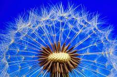 Free Image on Pixabay - Nature, Dandelion, Macro, Close Up Landscape Photography Tips, Macro Photography, Dandelion Seeds, Mimosa Pudica, Fotografia Macro, Urban Landscape, Abstract Pattern, Free Images, Nature