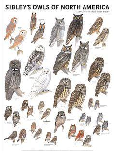 Speckled Elf Owl : speckled, Birds, Ideas, Birds,, Beautiful