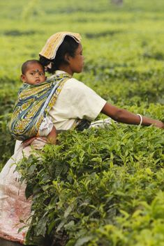 Picking tea leaves in India.