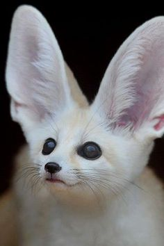Apparently it's a Fennec Hare.ITS A KITTY WITH BUNNY EARS! - there are no such things as Fennec Hares btw. cute idea though to their -funny stuff! Rare Animals, Cute Baby Animals, Funny Animals, Wild Animals, Unusual Animals, Cutest Animals, Amazing Animals, Animals Beautiful, Cute Creatures