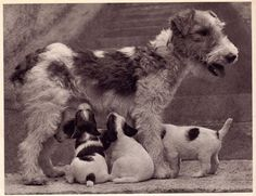 Fox terrier and pups, 1941 | 40 Precious Dog Photos From The'40s