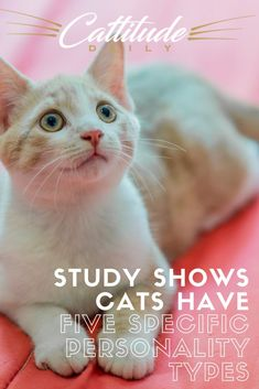 Studies indicate that cats have one of these five personality types: Human Cat, Hunter Cat, Cats' Cat, Cantankerous Cat, and Inquisitive Cat.Which one does your cat fall under?? #cats #cat Crazy Cat Lady, Crazy Cats, Office Cat, Purebred Cats, Types Of Cats, Work With Animals, Cat Care Tips, Bad Cats, Cat Behavior