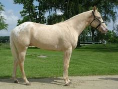 champagne appaloosa horse