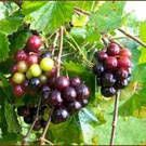 About Black Hunt Muscadine...  The Hunt Black Female is a medium sized muscadine that has good quality large clusters of 17% sugar fruits--excellent for jams, jelly, juice, and wine. Ripens early.